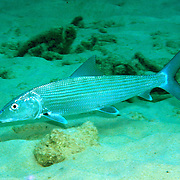 Bonefish inhabit shallow sand flats, often near mangroves in Tropical West Atlantic, also circumtropical; picture taken Little Cayman.