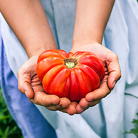 A large Mortgage Lifter heirloom tomato in the hands of the gardener, a Mennonite woman wearing a traditional plain blue skirt and lighter blue apron.