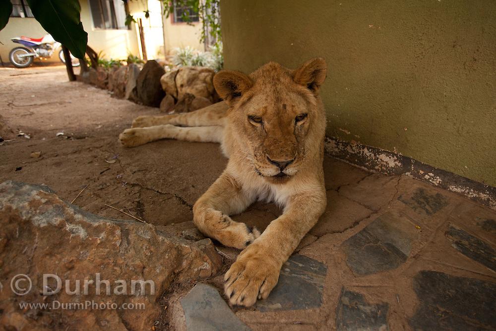 Oranje, an 18 month old orphan lion (Panthera leo), on the grounds of the Chipangali Wildife Orphanage in Bulawayo, Zimbabwe.
