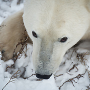 A polar bear (Ursus maritimus) on the tundra near Churchill, Hudson Bay, far north Manitoba, Canada. During a six-week span in October and November this area has the highest concentration of polar bears in the world. The bears assemble along the coast, and wait for the sea ice to form so they can begin hunting seals. The bears fast during this time, so if the ice forms later in the year, the bears must fast for longer, therefore decreasing their chances of surviving until winter.  As global temperatures warm, the bears in this area are struggling to adapt in time to meet the longer summers. This is demonstrated in many ways, including the number of cubs a female has each season. Fifteen years ago it was common to see a mother bear with three babies, and seven years ago twins were still common. Now bears here seldom give birth to more than one cub, and many females are not fit enough to produce even a single offspring.