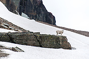 Mountain goat standing on a rocky outcropping around a snow field on Hidden Lake Trail in Glacier National Park