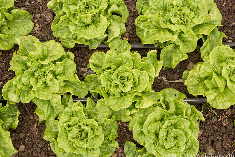 Manoa Lettuce, breeding project by Glenn Teves and Wild Garden Seed