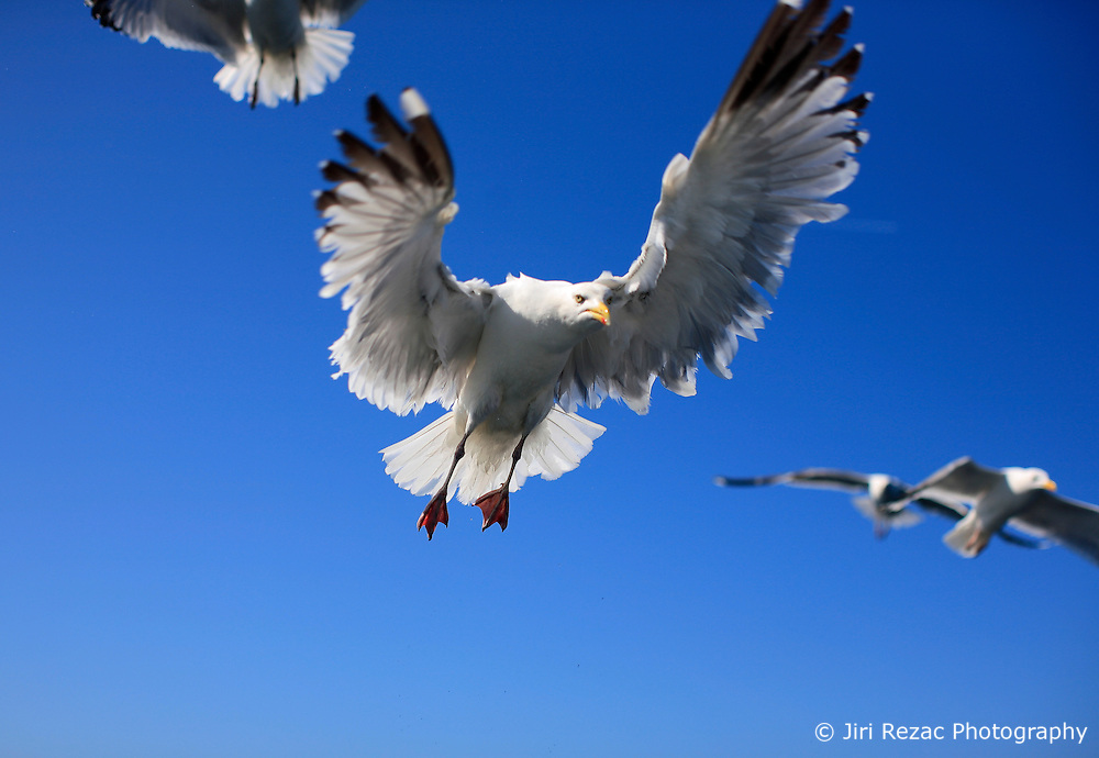 UK ENGLAND CORNWALL SENNEN COVE 11JUN08 - Seagulls scramble around a fishing boat awaiting their catch of fishguts, off Sennen Cove, Cornwall, England.. . jre/Photo by Jiri Rezac / WWF UK. . © Jiri Rezac 2008. . Contact: +44 (0) 7050 110 417. Mobile:  +44 (0) 7801 337 683. Office:  +44 (0) 20 8968 9635. . Email:   jiri@jirirezac.com. Web:    www.jirirezac.com. . © All images Jiri Rezac 2008 - All rights reserved.