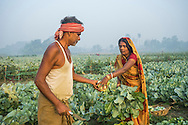 Vegetable farmer Geeta Devi (in orange), 45, a member of a Farmer's Producer Group, harvests cauliflower vegetables with her husband in her field in Machahi village, Muzaffarpur, Bihar, India on October 27th, 2016. Non-profit organisation Technoserve works with women vegetable farmers in Muzaffarpur, providing technical support in forward linkage, streamlining their business models and linking them directly to an international market through Electronic Trading Platforms. Photograph by Suzanne Lee for Technoserve