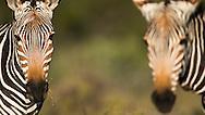 cape mountain zebra, Zèbre de montagne du Cap, Cebra Montanesa del Cabo, Equus zebra zebra, 海角山斑馬, حمار الزرد الجبلي