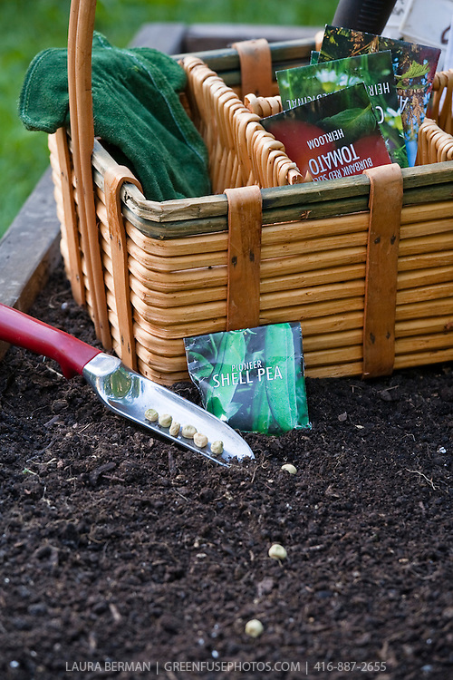 Shell pea seeds and gardening tools, sitting on seed starting soil mix, ready to be planted.