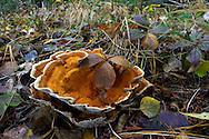 Laetiporus sulphureus, chicken of the woods mushroom, growing on the forest floor. Yaak Valley Montana