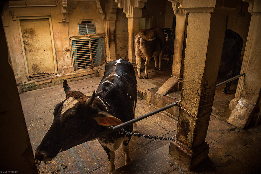 — In the old city of Varanasi, cows meander the alleyways. Some households stable their own cattle, reaping the benefits of fresh milk and paneer (cheese).