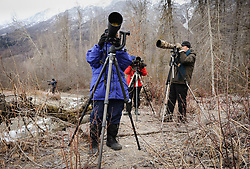 "Photographers from around the world come to the Alaska Chilkat Bald Eagle Preserve near Haines, Alaska to photograph bald eagles. Many participate in ""photo tours"" led by professional photographers as they photographers are doing. During November and December as many as 3,500 bald eagles are seen along the river allowing for ample opportunities to photograph the birds."