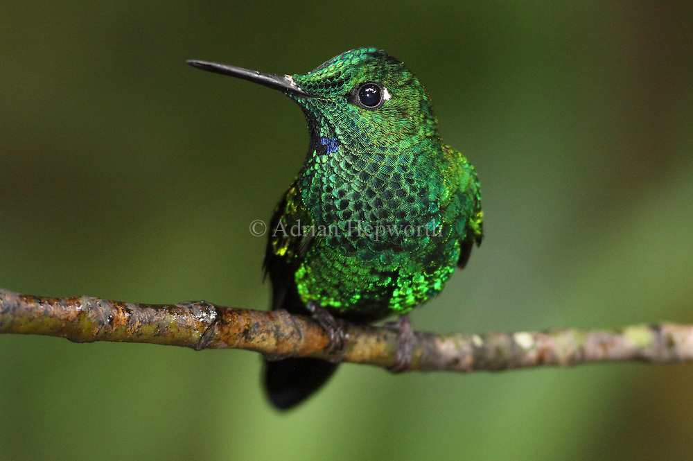 Male Green-crowned Brilliant Hummingbird (Heliodoxa jacula). Monteverde Cloud Forest Preserve, Costa Rica. <br /> <br /> For pricing click on ADD TO CART (above). We accept payments via PayPal.