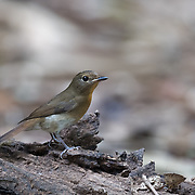 Female blue-throated blue flycatcher (Cyornis rubeculoides) is a small passerine bird in the flycatcher family, Muscicapidae.