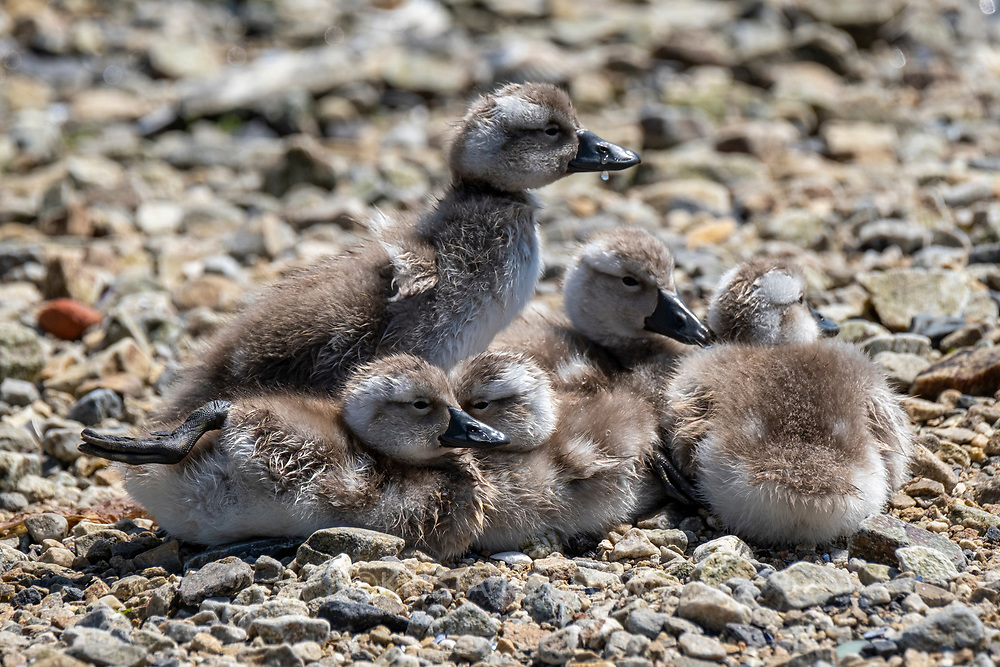 Falkland steamer duck (Tachyeres brachypterus) ducklings on a rocky beach in Stanley, East Falkland Island, Falkland Islands.