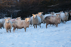 ***CAPTION CORRECTION***© Licensed to London News Pictures. 14/01/2015. Wheddon Cross, Somerset, UK. A flock of sheep in a field of snow near Exmoor National Park in Somerset this morning, 14th January 2015. Snow has fallen overnight across many parts of England, causing travel disruption in some areas.  Photo credit : Rob Arnold/LNP