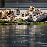 Harbor seals rest, give birth and nurse their young on log booms. South Puget Sound.
