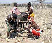 Pokot tribe, Kenya, Blood-milk. A cow id bled and the blood is drunk as part of the tribes diet