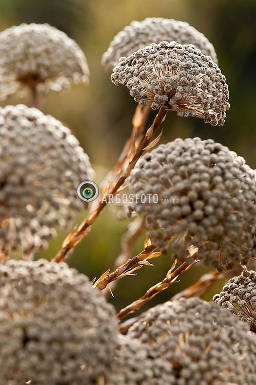 Pepalantus ou Paepalanthus uma flor, popularmente conhecida como Sempre-Viva, Chuveirinho ou Bem-casado. Uma planta comum nos campos de altitude e se desenvolve em solos arenosos. Chega a atingir 90cm de altura, com idade aproximada de 30 anos./ Pepalantus or Paepalanthus, is a flower, popularly known as the Sempre-Viva, Chuveirinho or Bem-casado. This plant is common in high altitude grasslands and grows in sandy soils. It reaches 90cm in height, aged approximately 30 years.