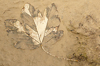 sycamore leaf embedded in sand on beach, Morecambe Bay, Lancashire