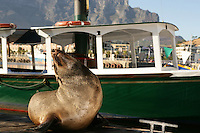 Cape Town, South Africa Sea lion in Cape Town V&A Waterfront