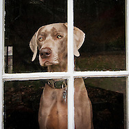 Indiana the Weimaraner waiting for Mom to return home
