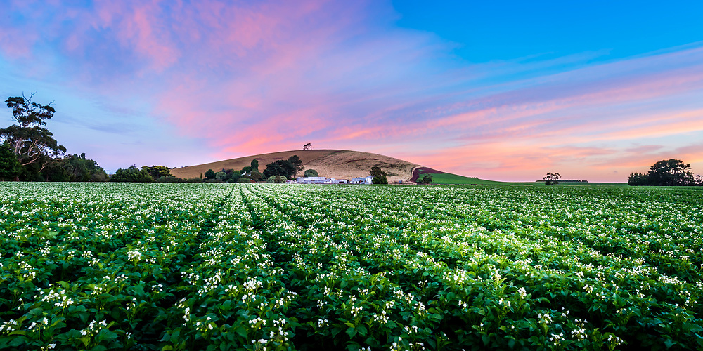 Potato farm at dawn with flowering potato plants in rows.
