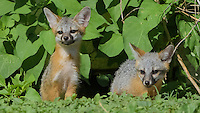 Common Gray Fox, Urocyon cinereoargenteus;<br />