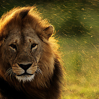 Male Lion shaking off water after a downpour, Ndutu, Tanzania