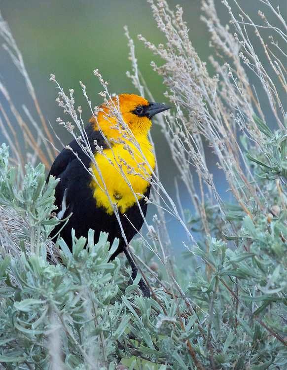 Yellow-Headed Blackbird, Yellowstone National Park