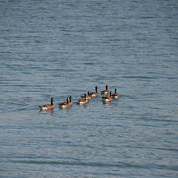 Canadian Geese (Branta canadensis) at Garrison Bay, San Juan Island, Washington, US