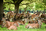 © Licensed to London News Pictures. 24/05/17, UK.  Deer crowd to shelter from the heat of the sunshine in the shade of a tree in Richmond Park, today 24th May 2017. Temperatures have reached 25 degrees celsius in the park.  Photo credit: Stephen Simpson/LNP