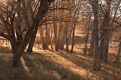 Cottonwood Trees at sunset in New Mexico