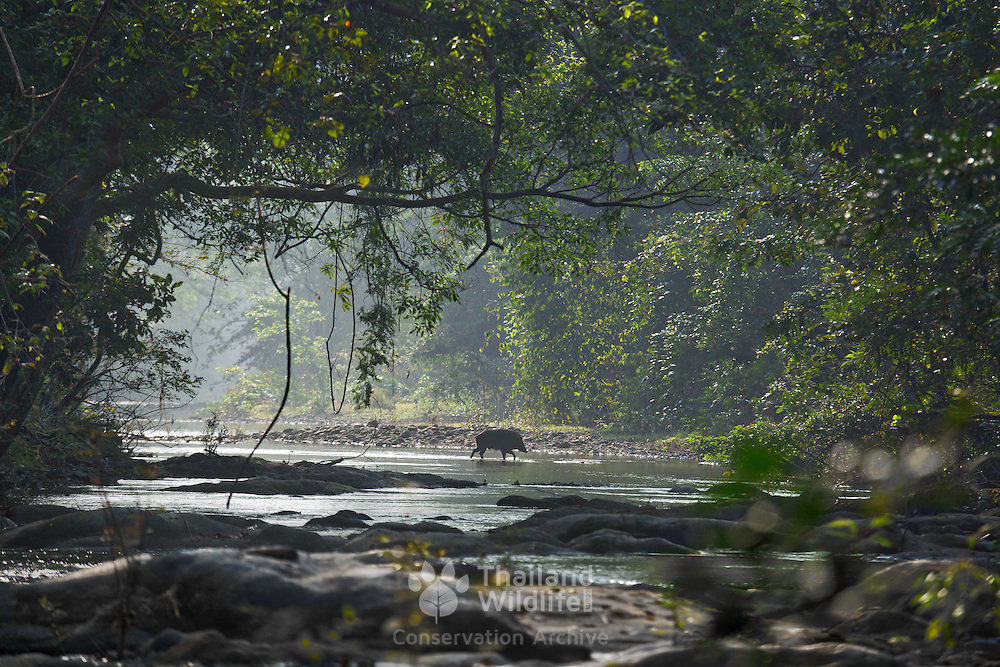 A male wild pig passes through a riverine clearing in Huai Kha Khaeng Wildlife Sanctuary, Thailand.<br /> Wild boar or wild pig (Sus scrofa) is a species of the pig genus Sus, part of the biological family Suidae.
