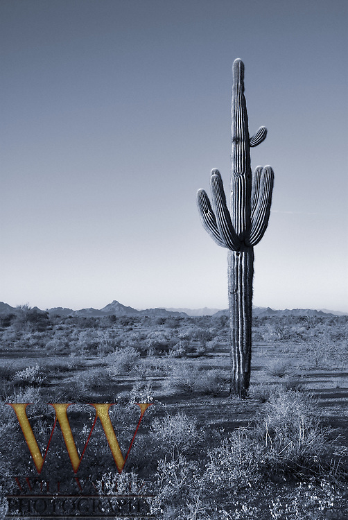 Lone cactus stands in Arizona desert