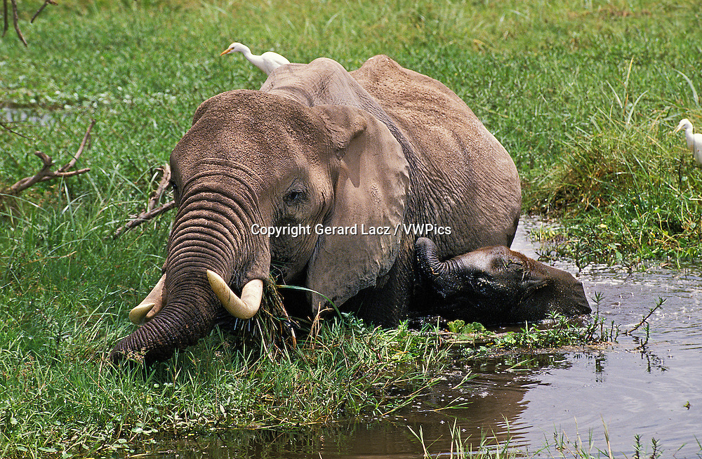 African Elephant, loxodonta africana, Female with Calf Eating in Swamp, Amboseli Park in Kenya