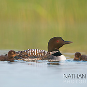 Common loon with chicks;  MInnesota.