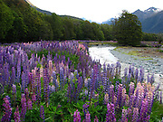 purple lupins in the summer at Fiordland, New Zealand