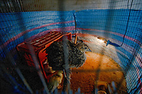 27\10\2010 Un pavone di colore giallo con striature nere è appollaito su di bastone di scopa nella sua gabbia, dove riedono anche due anatre. Codesti animali fanno parte dell'allevamento della masseria Salita delle Pere, sita sul Canale di Pirro in provincia di Bari...In Puglia, ancora oggi, persistono realtà autentiche e genuine: flora e fauna sono gli ingredienti base delle masserie che con i loro muretti a secco costellano il territorio del tacco d' Italia. Qui l'allevamento è una delle attività principali, ieri come oggi, che il massaro porta avanti quotidianamente con pazienza e devozione. La masseria delle Murge è abitata da equini, bovini, ovini ecc. che sono il motore della produzione alimentare come per esempio la tipica mozzarella. Entriamo quindi in un'atmosfera bucolica che ci fa respirare odori, gustare sapori e ammirare colori che identificano il territorio. Buon viaggio dei sensi..