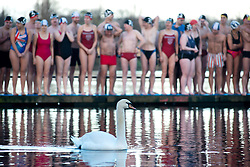 Serpentine Christmas Day Swimming. A swam swims on the lake while members of the Serpentine Swimming club prepare to take part in the annual Peter Pan Cup - Christmas Day race in the  Serpentine lake.  The swimmers compete in a 100 yard swimming race which has taken place on Christmas Day every year since 1864.The Serpentine Lake, London, United Kingdom. Wednesday, 25th December 2013. Picture by Peter Kollanyi / i-Images