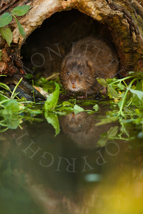 Water Vole (Arvicola terrestris) adult in hollow log, Norfolk, UK.