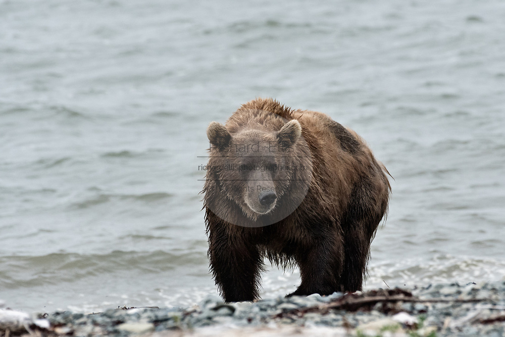 A Brown bear sow on the beach at the McNeil River State Game Sanctuary on the Kenai Peninsula, Alaska. The remote site is accessed only with a special permit and is the world's largest seasonal population of brown bears in their natural environment.