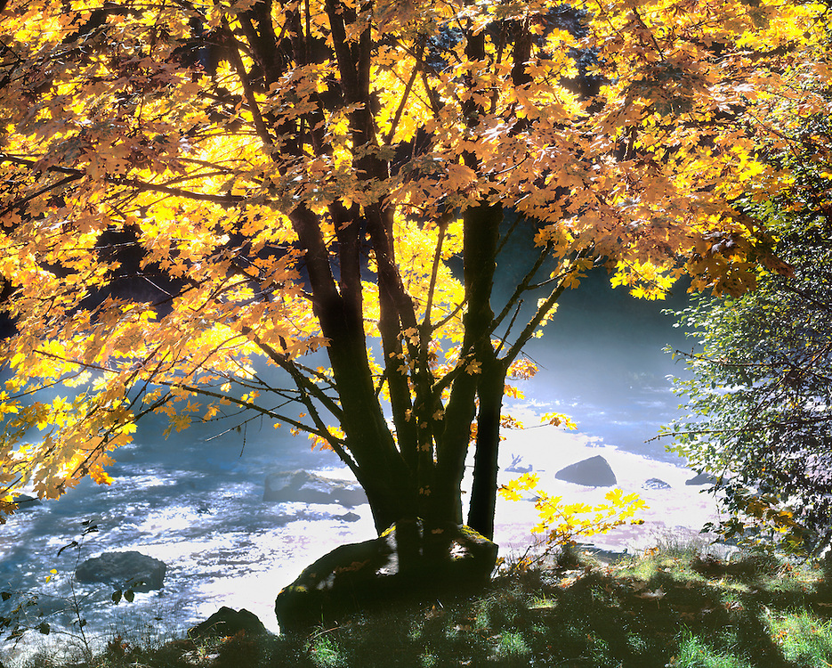 The golden leaves of a broad-leaf Maple are back-lit along the North Santiam River, Linn Co., Oregon. ©Ric Ergenbright