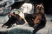 Captive Brown bears seen in their enclosure at Budapest zoo,<br /> on 13th June 1990, in Budapest, Hungary. (Photo by Richard Baker / In Pictures via Getty Images)