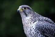 Portrait of a gyrfalcon (Falco rusticolus).