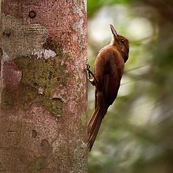 """""""Arapaçu-liso (Dendrocincla turdina) fotografado em Linhares, Espírito Santo -  Sudeste do Brasil. Bioma Mata Atlântica. Registro feito em 2013.<br /> <br /> <br /> <br /> ENGLISH: Plain-winged Woodcreeper photographed in Linhares, Espírito Santo - Southeast of Brazil. Atlantic Forest Biome. Picture made in 2013."""""""