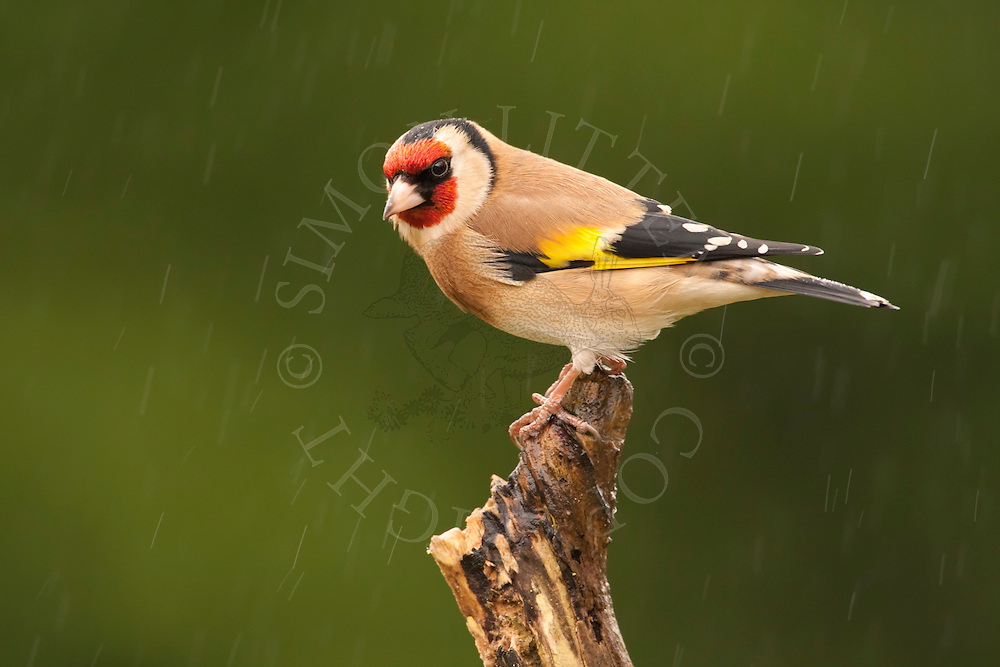 European Goldfinch (Carduelis carduelis) adult, perched on stick in rain, winter, Norfolk, UK.