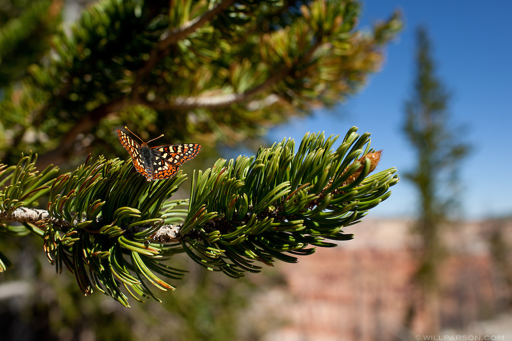 A butterfly lands on a Bristlecone Pine at Cedar Breaks National Monument, Utah.