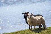 Black and white sheep, side by side, on green grass with blue water background | Sort og hvit sau, side om side, på grønt gress med blått vann som bakgrunn.
