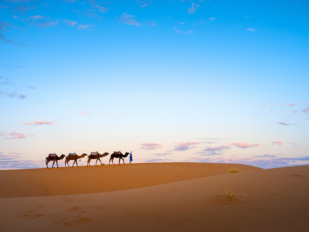 MERZOUGA, MOROCCO - CIRCA MAY 2018: Camels and berber early morning over the dunes of the Sahara Desert