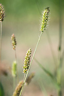 Green Foxtail common weed in Oklahoma