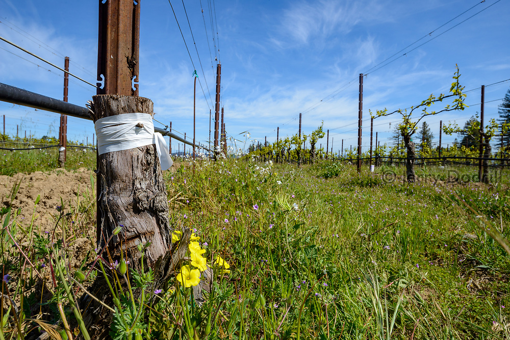 Pinot Noir clones grafted onto older Chardonnay root stock.