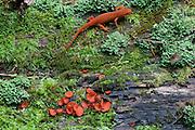 Red Eft, Red-spotted Newt; Notophthalmus viridescens; PA, Boyds Mills